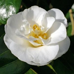 Camellia 'A W Jessep'