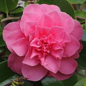 Camellia 'Ada Pieper'