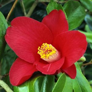 Camellia 'Adeyaka'
