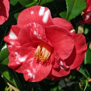 Camellia 'Adolphe Audusson Variegated'
