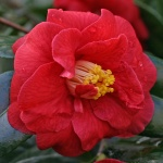 Camellia 'Adolphe Audusson'
