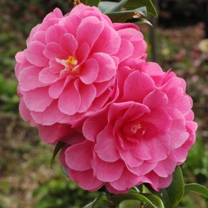 Camellia 'Adorable'