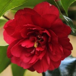 Camellia 'Agnes of the Oakes'