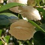 Camellia 'Alba Casoretti'