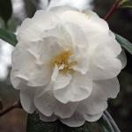 Camellia 'Alba Grandiflora'