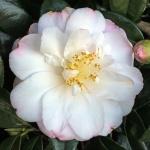 Camellia 'Alexis Smith'