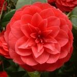 Camellia 'Alfredo Capellini'