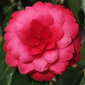 Camellia 'Alice Wood'