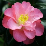 Camellia 'Alison Leigh Woodroof'