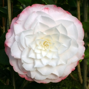 Camellia 'Amazing Graces'