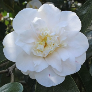 Camellia 'Andromeda'