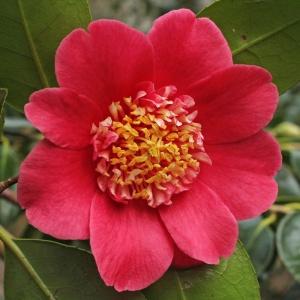 Camellia 'Anemoniflora'