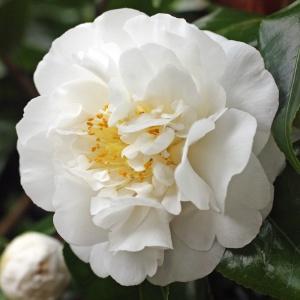 Camellia 'Angel'