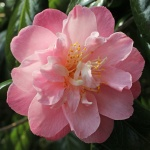 Camellia 'Ann Sothern'