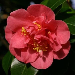 Camellia 'Anna M Page'