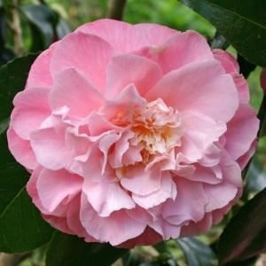 Camellia 'Annie Wylam'