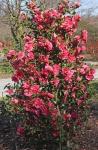Camellia 'Anticipation'