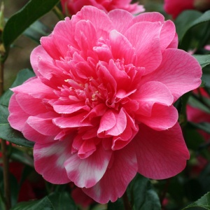 Camellia 'Anticipation Variegated'