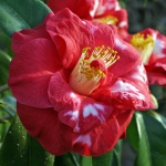 Camellia 'Apollo'