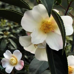 Camellia 'Apple Blossom'
