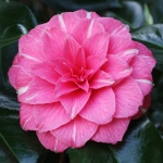 Camellia 'April Rose'