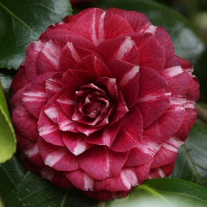 Camellia 'Arciduchesa Augusta'