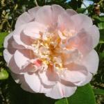 Camellia 'Ardoch'