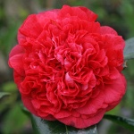 Camellia 'Arthur Gayle'