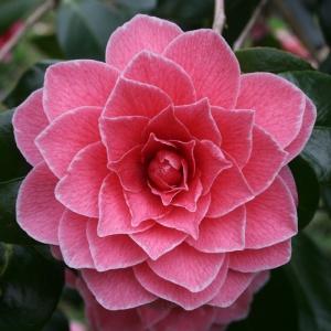 Camellia 'Augusto Pinto'