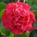 Camellia 'Australis'