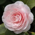 Camellia 'Ave Maria'