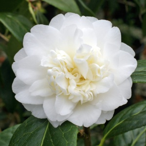 Camellia 'Baby Sis'
