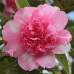 Camellia Ballet Queen Variegated