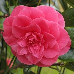 Camellia Bambino