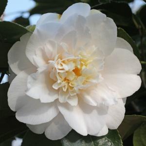 Camellia Barbara Woodroof
