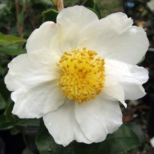 Camellia Baronesa de Soutelinho