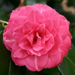Camellia Baronne Leguay
