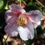 Camellia Beatrice Michael