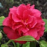 Camellia Beau Harp