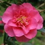 Camellia Beautiful