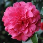 Camellia Bella Romana Pink
