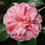 Camellia Bella Romana