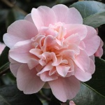 Camellia Belle of the Ball