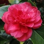 Camellia Beni Daikagura