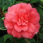 Camellia Benten Kagura