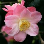 Camellia Berenice Boddy