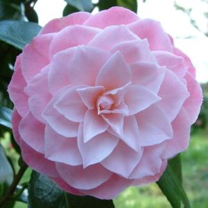 Camellia Berenice Perfection