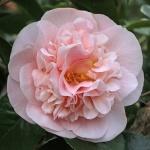 Camellia Bette Sette