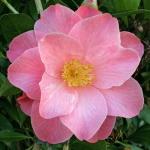 Camellia Bett's Supreme