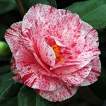 Camellia Betty Foy Sanders